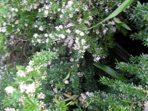 Aspargus Ferns